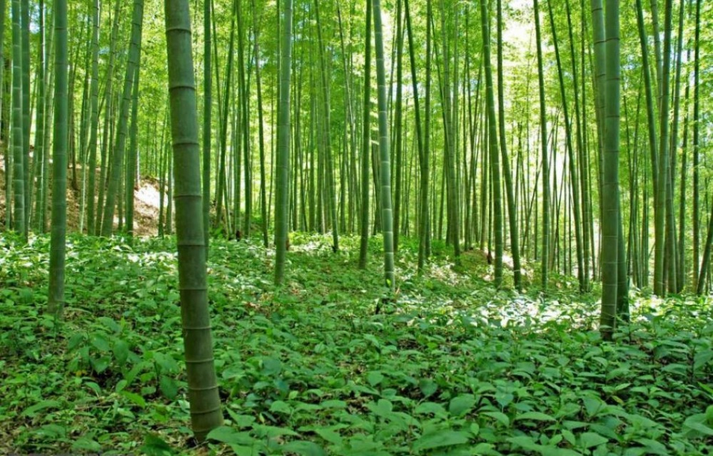 Murals sagano bamboo for Bamboo forest mural