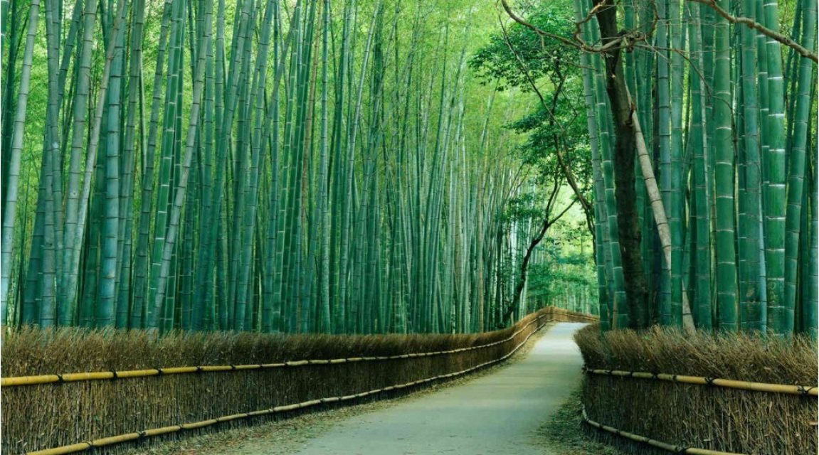 Finest mural sagano bamboo forest for Bamboo forest wall mural
